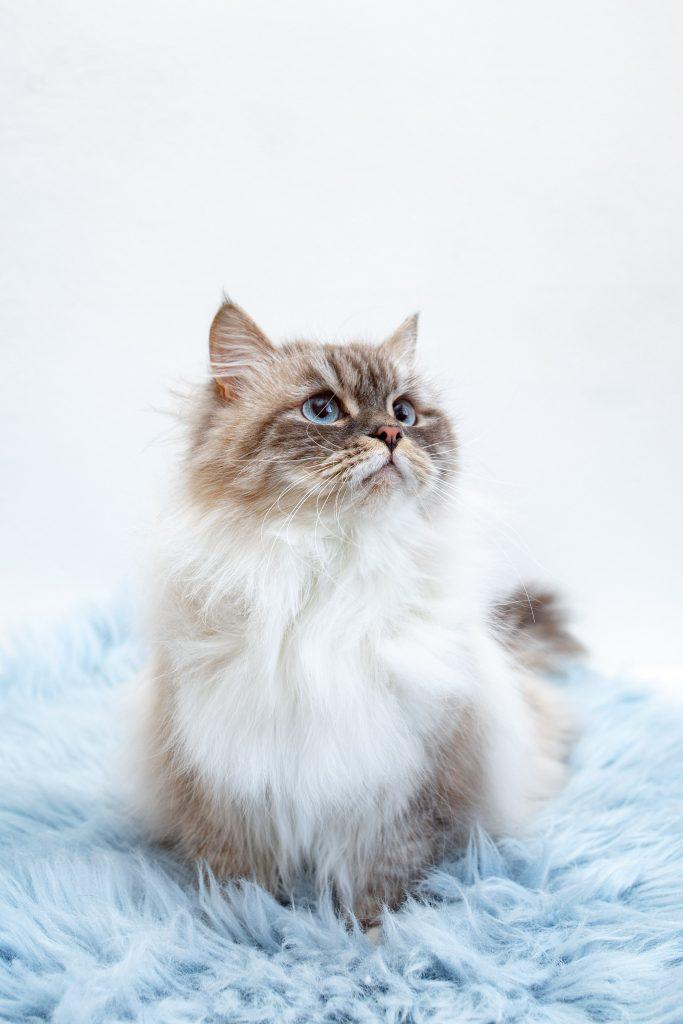 Tolle Katze mit blaue Augen