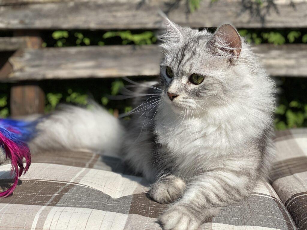 Cat, breed cat